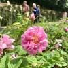 Rose de Mai, dans les champs de Chanel