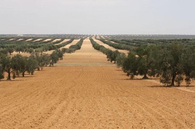 363-oliviers