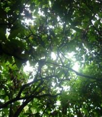 Forêt de cacaoyer